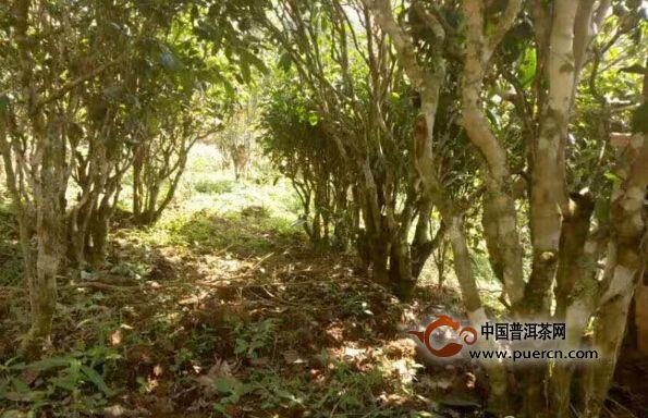 江城号普洱茶品牌建设工作 让江城茶产业更大更强