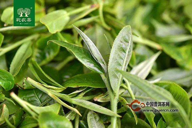 彩农茶勐海小饼│超高性价比口粮茶