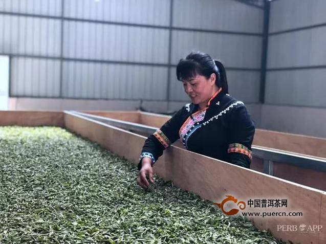 """普洱春茶""""抢鲜""""上市,各地茶商云集!今年的春茶价格……"""