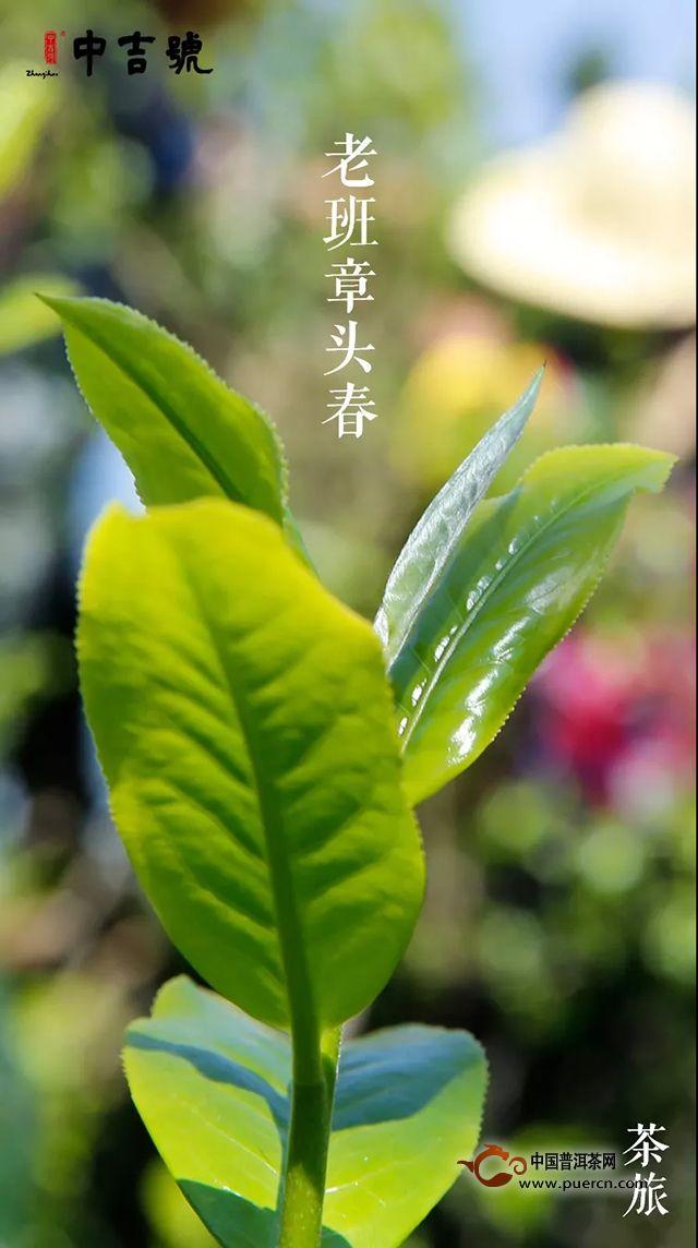 春茶开采  探源体验|中吉号茶山之旅即将开启!