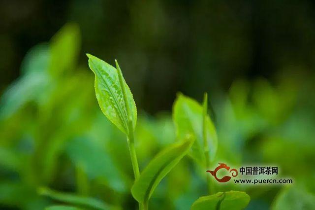 一心只为做好茶|大益勐海茶厂600多名员工第11次宣誓质量月启动