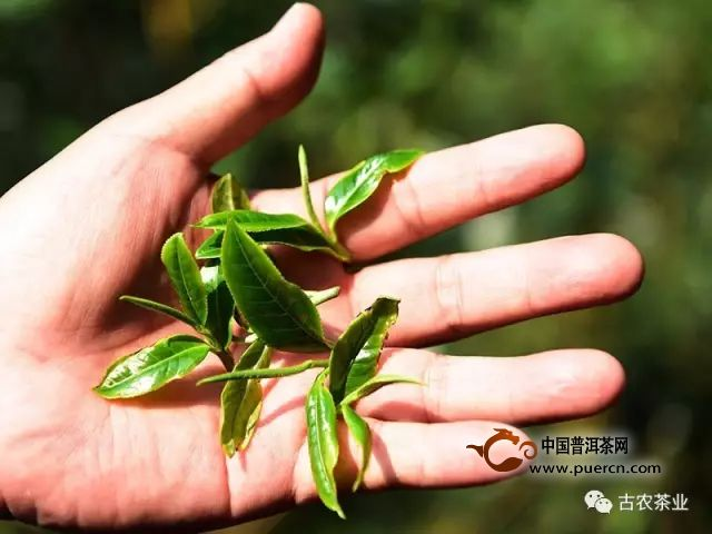 彩农茶薄荷塘│易武顶级稀有极品