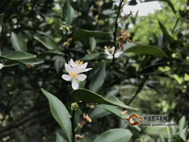 丽宫侨宝:又是一年春来到,满园柑花争相开