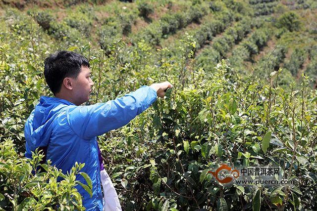 海湾茶业:芽初上,再出发。2019年茶山行