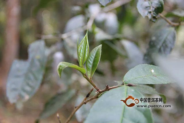 海湾茶业:深入茶山找不同。2019年茶山行