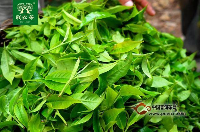 彩农茶|易武大雅2019春古树纯料青饼开始优惠预订