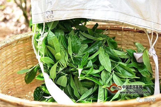 彩农茶|老班章第一高杆茶王地,2019春头采古树纯料青饼开始优惠预订
