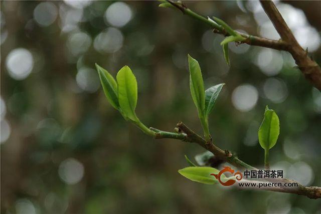 福元昌2019年春茶古树贺开(散茶)礼盒春茶季限时分享中....