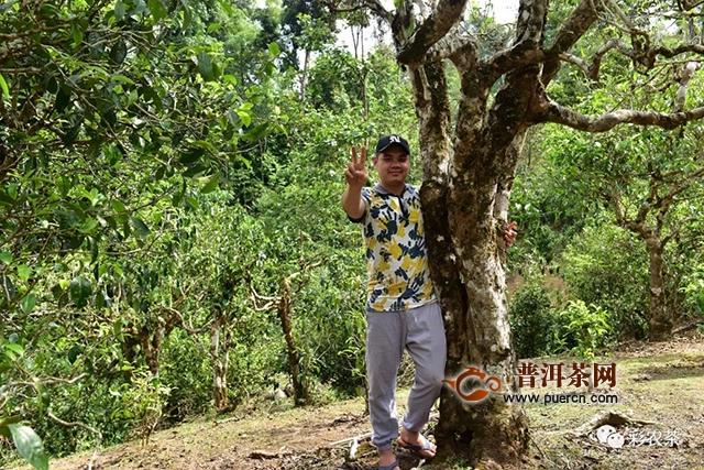 老班章·最大树 2019头春老班章第一高杆古茶王片区12棵最大树