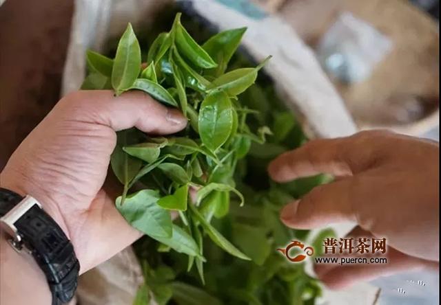 一球茶业匠心之作:绝世明珠·曼松