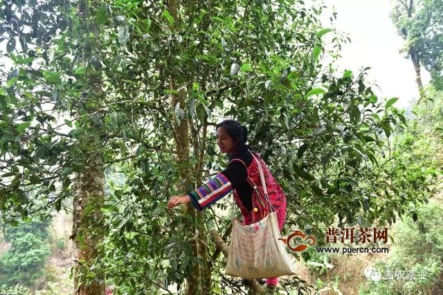 老班章·熟普丨老班章第一高杆古茶王片区古树纯料制作,开始优惠预订