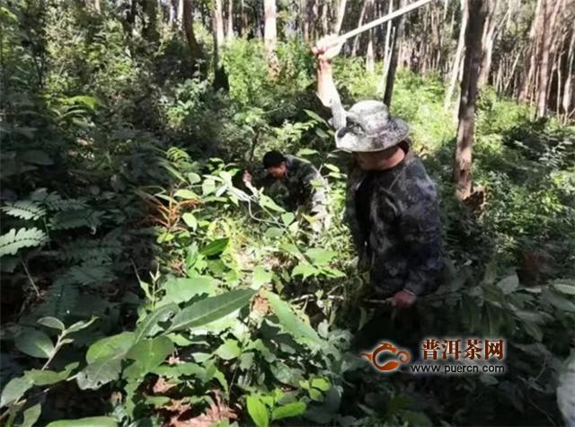 我州打击毁林种茶专项整治行动取得初步成果