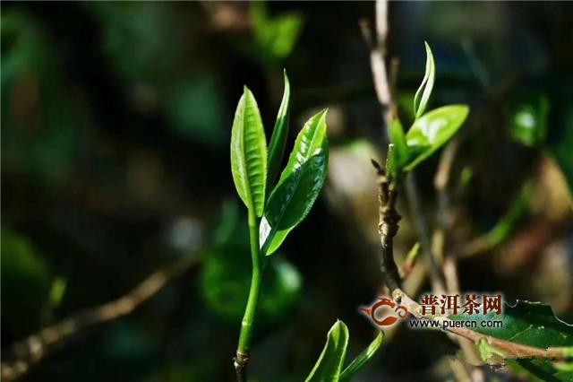 古德凤凰春茶预售 一起品鉴春天的味道