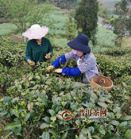 【图阅】茶园里,一株株茶树郁郁葱葱