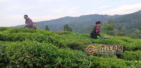 保山:龙江千亩茶园采摘鲜叶3百吨,户均增收2千元!