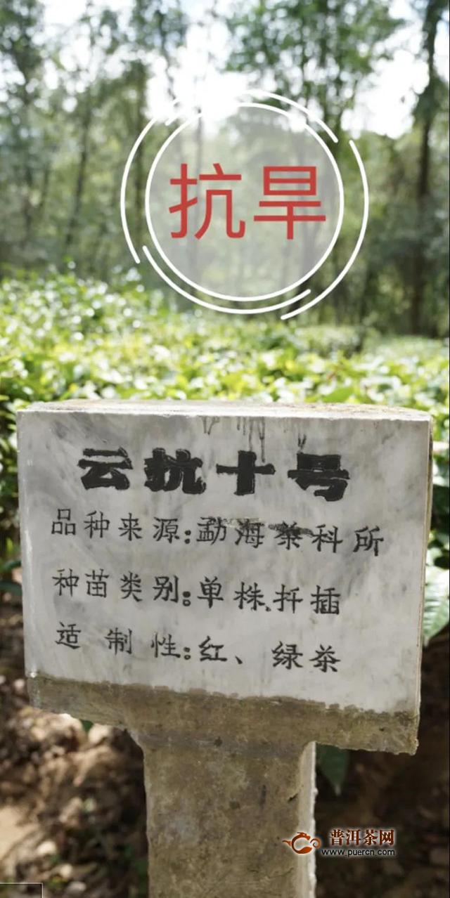 吉普号茶山黑话181:刚出老茶坑,又入老品种坑?茶圈套路这么深?